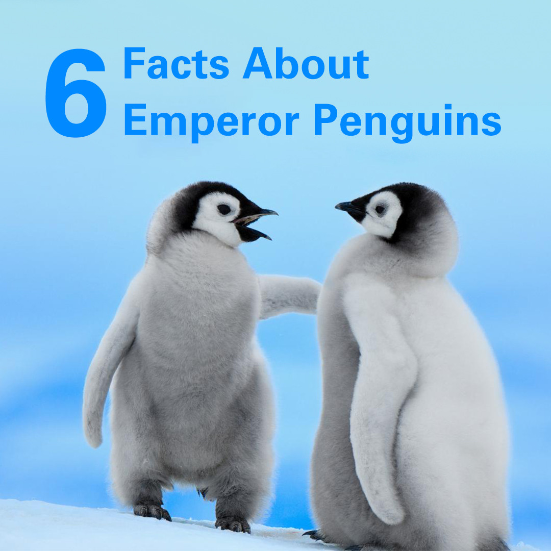 Emperor penguins – The Icons of the Antarctic